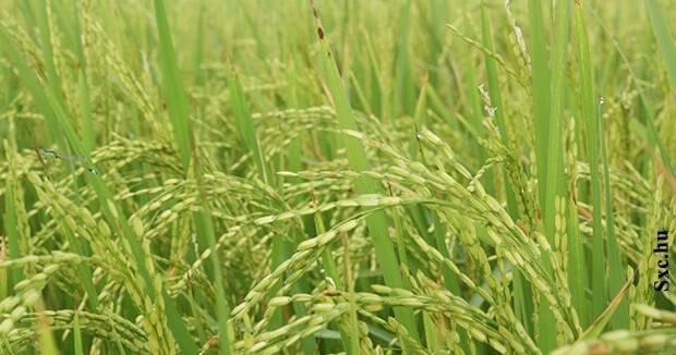 Ujatoba_arroz