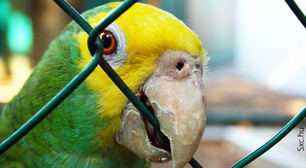 Ujatoba_papagaio