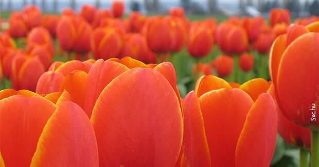 Ujatoba_tulipa