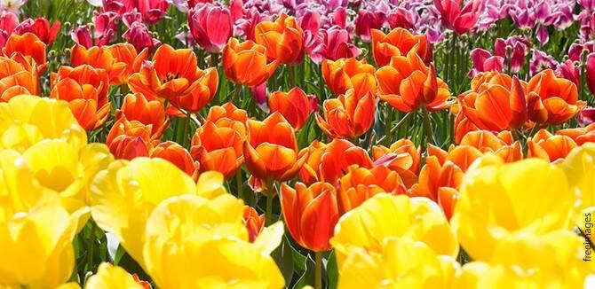 Ujatoba_tulipas