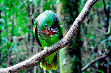 universo-jatoba-papagaio-ecod