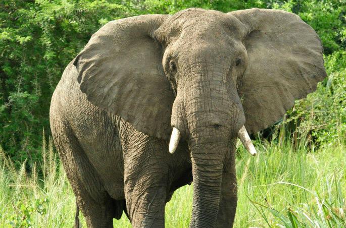 Julie Larsen Maher_2941_African Elephant_UGA_06 30 10-IG