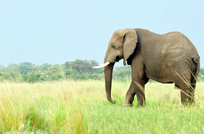 Julie Larsen Maher_3242_African Elephant_UGA_06 30 10