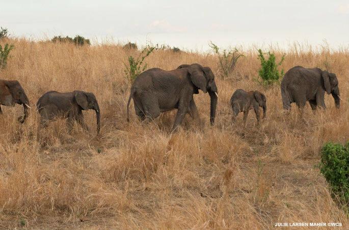 Julie Larsen Maher_5091i_African Elephants Ruaha National Park_TZA_11 23 15_hr