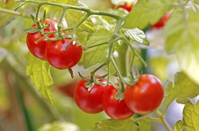 img_como_plantar_tomates_em_vasos_25172_orig_